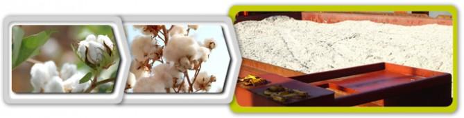 Semilla de algodón